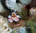 Harlequin shrimp are always a lucky find. Being one of the most coveted shrimp among fish collectors  we see them less and less. Although beautiful  these shrimp can be deadly to starfish  moving into action as soon as they smell their prey.