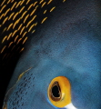 The Eye of French Angel Fish