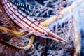 Longnose hawkfish  Owase  Mie  Japan  Depth15m