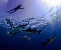 Hanging with Sharks, Canon 5D Mark II, fisheye lens, Ikelite housing.