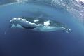 Humpback whale/Vava u Tonga