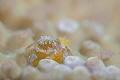 Tiny crab (with eggs)/Anilao,Philippine/Canon 5D MarkIII, 100mm macro Lens,Nauticam SMC