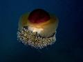 Cotylorhiza tuberculata Fried Egg Jellyfish