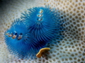 Perfect for a blue Christmas! Double Christmas tree worms shot in Yap on a gorgeous drift dive!