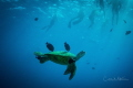Green Sea Turtle swimming above one of the reefs of Waikiki, Honolulu, HI.