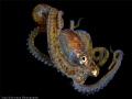 Juvenile octopus