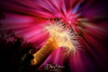 Small snakelocks anemone (Sagartiogeton undatus), no photoshop, Zeeland, The Netherlands.