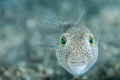Puffer portrait from Kemer