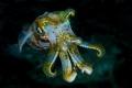 Cuttlefish.