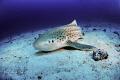 leopard shark