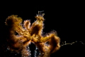 Backlit orang-utan crab