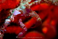 Bejewelled A hotlips spider crab adorned with jewel like camouflage