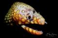 Leopard moray eel, (Enchelycore pardalis), La Paz, Mexico