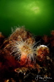 Small snakelocks anemone (Sagartiogeton undatus), Zeeland, The Netherlands.