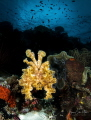 Wakatobi Cuttlefish