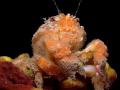 Dromia personata A Sponge crab