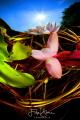 Waterlilies.