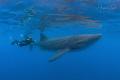 Whaleshrak and Snorkeler  Isla Contoy M xico