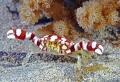 Arlequi porcellain crab. Nikon D200   60 macro   two strobo