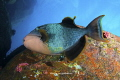 Triggerfish on the earth