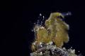 Algae shrimp/Anilao/Canon 5D4, 100mm macro lens, Nauticam SMC2