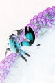 Psychedelic Porcelain Crab