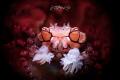 Pom Pom crab (Lybia tessellata)