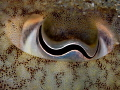 Sepia officinalis eye