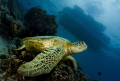 A sea turtle resting on a coral apparently waiting for people from the boat just above