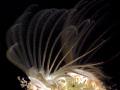 Balanus eburneus Ivory barnacle