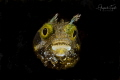 Blenny Face, Klein Bonaire