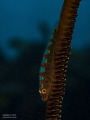 Whip coral goby ~ Sodwana Bay, South Africa