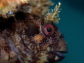 Parablennius gattorugine