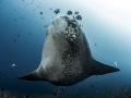 Warrior  Southern Ocean Sunfish - Mola alexandrini  Gilli Mimpang, Bali, Indonesia