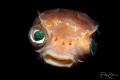 Porcupinefish, Lembeh, Sulawesi.