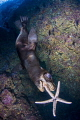Sea lion chasing a sea star