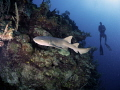 Nurse Shark on reef wall