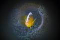 Anemoon fish