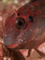 Peruvian Giant Blenny   Scartichthys gigas