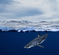 A mako shark  over/under