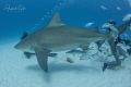 Bullshark Pregnant and divers  Playa del carmen Mexico