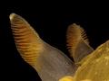 Dendrodoris limbata Rhinophores