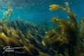Sunny kelp top at Avalon Dive Park, Catalina Island, California