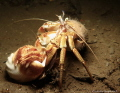 Crab Love - Cancer pagurus (male) with the female in an empty shell.