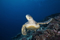 Turtle/Maldives/Canon 5Dmark4, 16-35mm Lens, S&S housing,INON z330*2