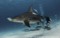 Hammerheads have found their way back to Bimini Bahamas