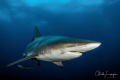 black tip shark , South Africa Umkomaas