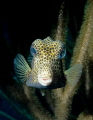 Spotted Trunkfish (Lactophrys bicaudalis)  -  Picture taken in Bonaire