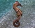 Hippocampus fuscus