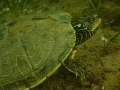 Northern Map Turtle,Welland Scuba Park